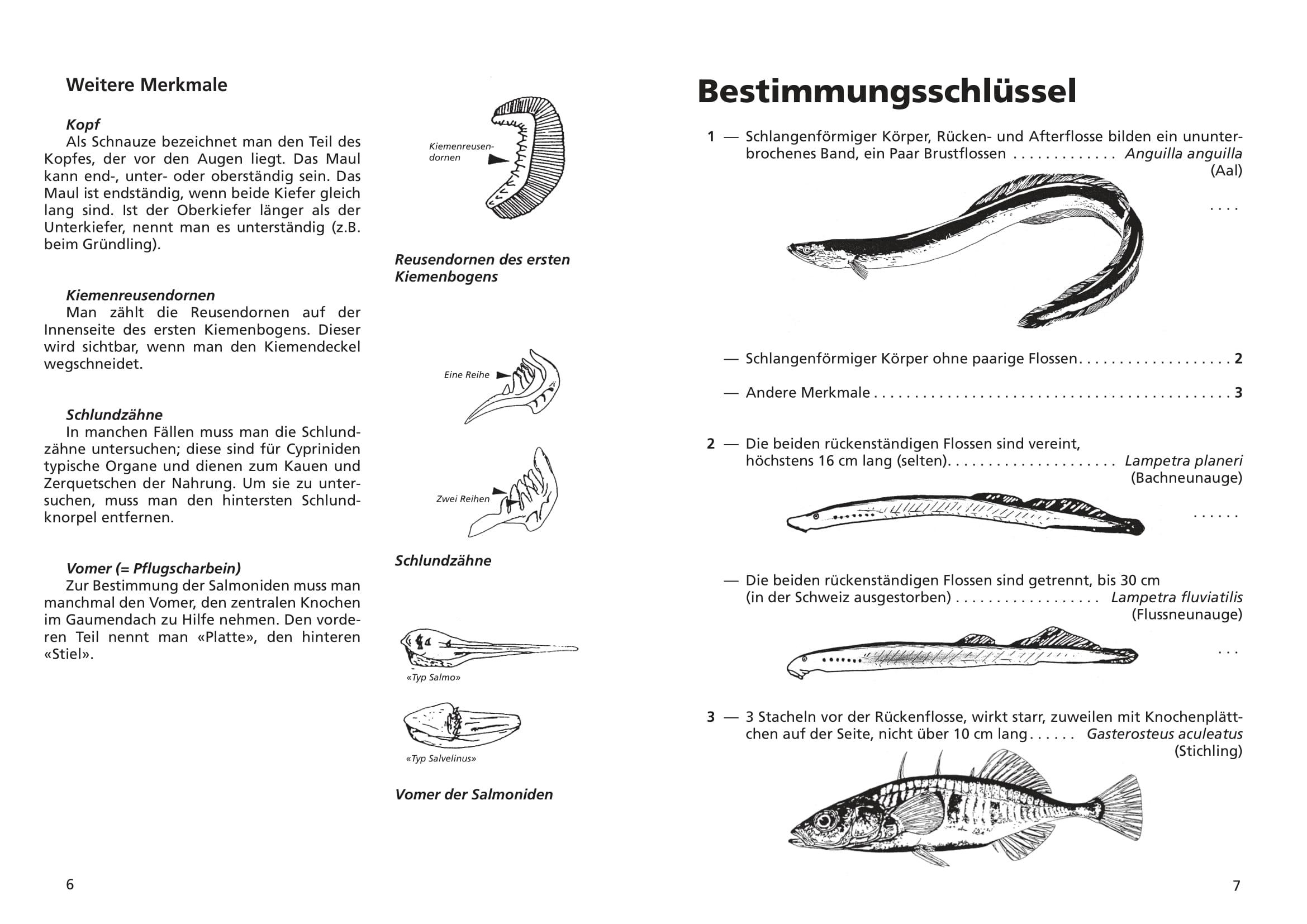 merkblatt_8_suesswasserfische-04