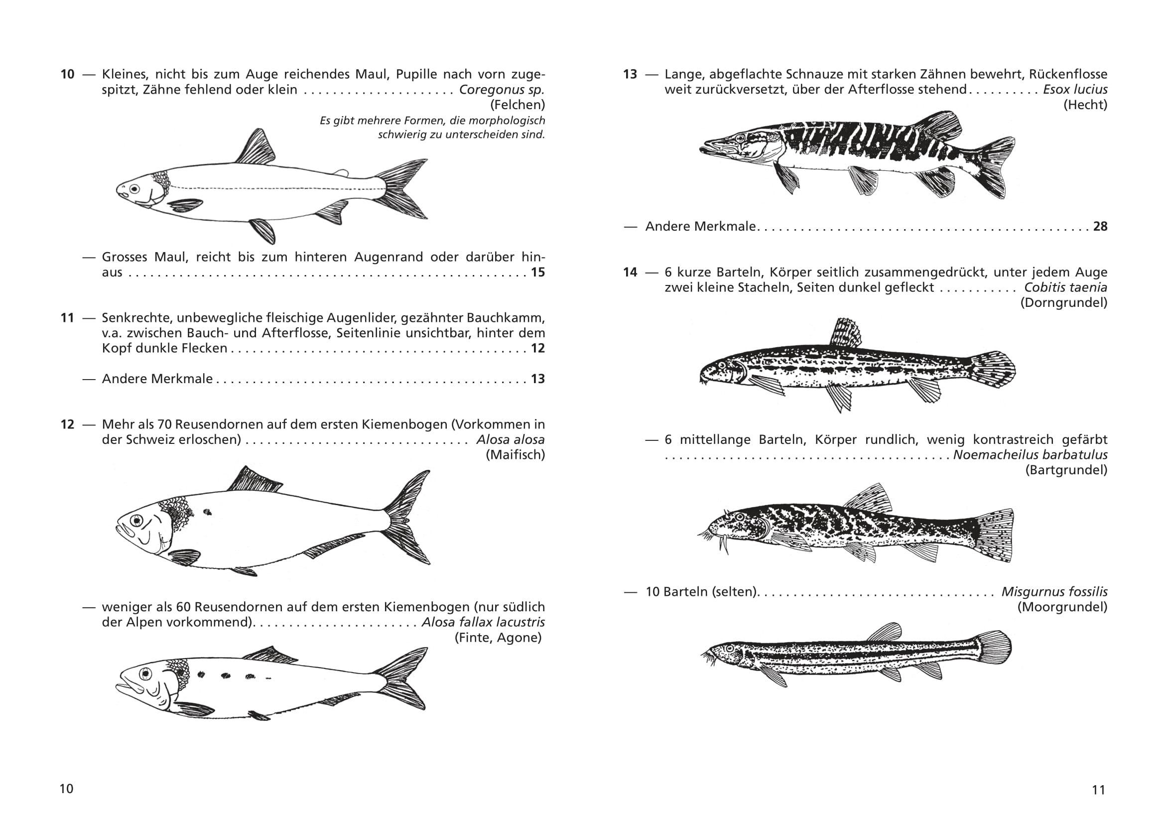 merkblatt_8_suesswasserfische-06